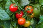 pomodori-coltivazione-vaso-orto-terreno-1